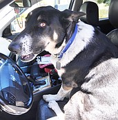 Dogs, cars, hot weather can be a dangerous combination photo
