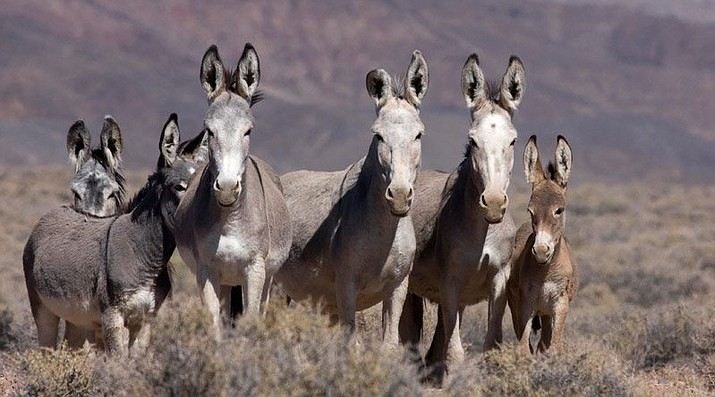 The Bureau of Land Management is gathering 60 wild burros from the Bullhead City area for transport to the adoption center in Florence. The wild burro population in the Black Mountain Herd Management Area is estimated at 1,800. (BLM Courtesy photo)