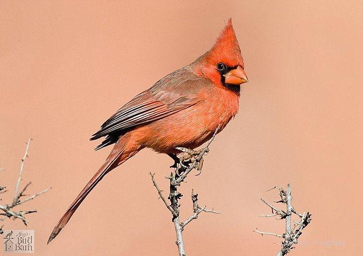 A picture of a northern cardinal. This picture is on Jay's Bird Barn website, and was given to Jay's Bird Barn by Laura Hughes, a customer.