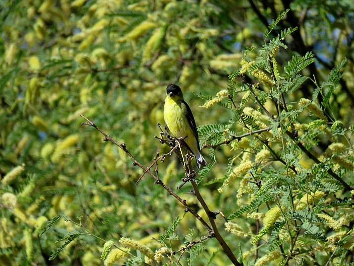 Goldfinch amid the mesquite blossoms.