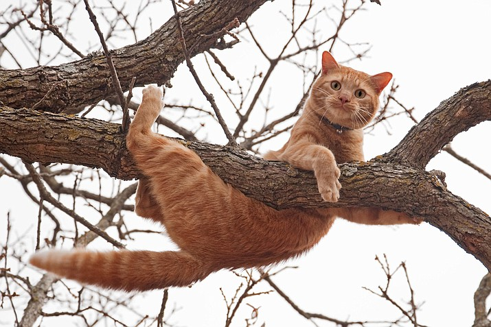 "Prescott Fire Chief Dennis Light said it would be ""a stretch"" to call a wayward animal problem like a cat in a tree an emergency, and advocated first trying a simpler solution. ""In the case of cats, one thing I encourage is for the caller to perhaps 'open a can of tuna' to coax the feline down,"" he said. (Stock photo)"