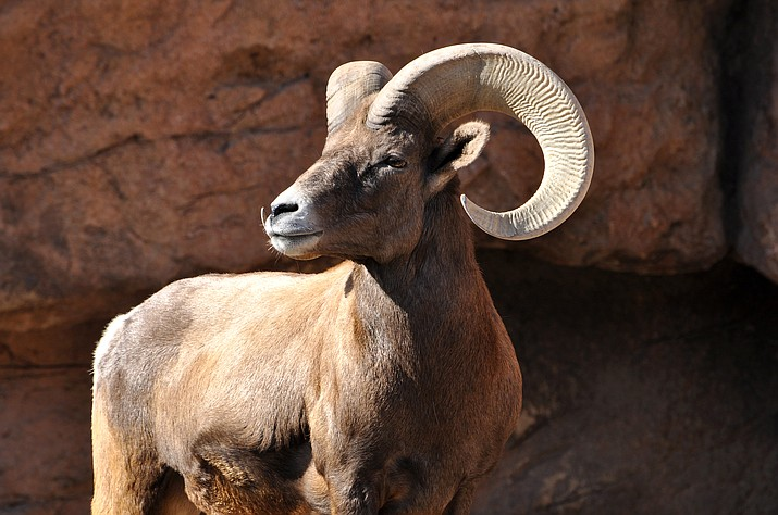 In 2005 and 2006, Arizona Game and Fish transplanted 60 Rocky Mountain bighorn sheep into Maverick Basin below northern Arizona's Mogollon Rim. (File photo)