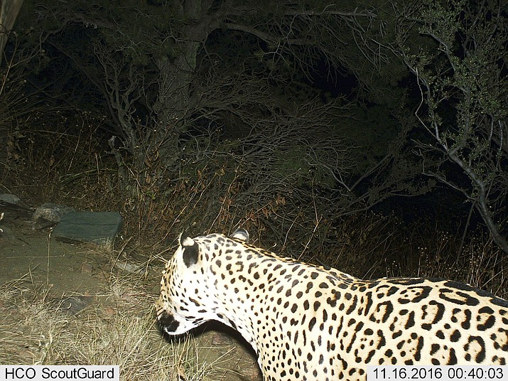 This Nov, 16, 2016 photo shows a Jaguar photographed by a motion-detection cameras in the Dos Cabezas Mountains in southern Arizona. A nonprofit devoted to protecting jaguars believes one that was spotted in Arizona mountains in recent years has since died. (Bureau of Land Management/U.S. Fish and Wildlife Service via AP, File)