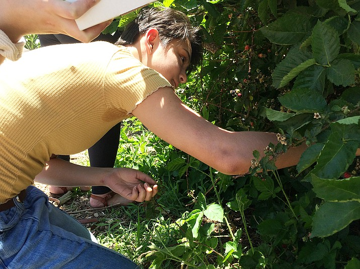 Rebecca Latto reaches into a blackberry bush at Mortimer Farms' Berry Festival Saturday, June 23. The event continues Sunday, June 24. (Jason Wheeler/Courier)