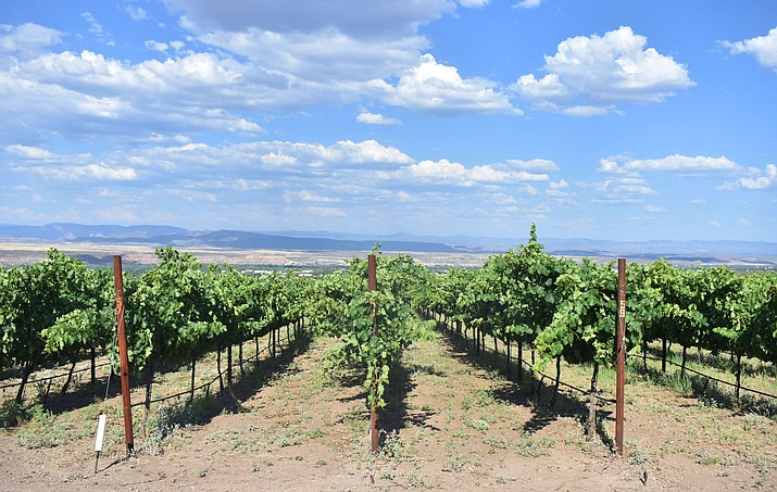 The Southwest Wine Center at Yavapai College is expected to yield over 16 tons of fruit, according to Paula Woolsey. VVN/Halie Chavez