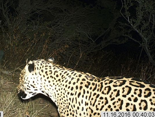 This Nov, 16, 2016 photo shows a Jaguar photographed by a motion-detection cameras in the Dos Cabezas Mountains in southern Arizona. A nonprofit devoted to protecting jaguars believes one that was spotted in Arizona mountains in recent years has since died. (Bureau of Land Management/U.S. Fish and Wildlife Service)