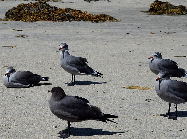 Shorebirds are known to be nature's main influenza source.(Photo By incidencematrix (Shore Birds) [CC BY 2.0 (https://creativecommons.org/licenses/by/2.0)], via Wikimedia Commons)