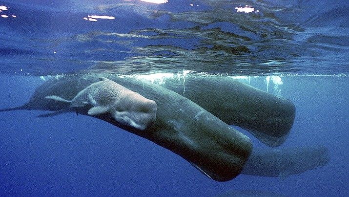 In this June 15, 2001 file photo, a sperm whale calf swims next to its mother and a pod of sperm whales, about four miles off the coast of the Agat Marina in Guam. Spain says it will create a marine wildlife reserve for whale and dolphin migration the Mediterranean Sea in which prospecting for fossil fuels will be prohibited. The Spanish government announced on Friday, June 29, 2018 that the protected area will cover 46,385 square kilometers (17,909 square miles) between the Balearic Islands and the mainland. The species Spain hopes to protect are Fin whales, sperm whales, grey sperm whales, pilot whales, Cuvier's beaked whales, bottlenose dolphins, striped dolphins, common dolphins and loggerhead turtles. (AP Photo/Guam Variety News, Chris Bangs, File)