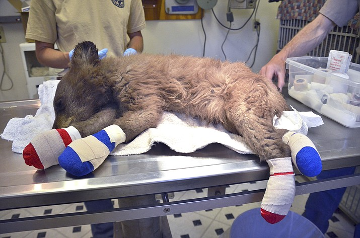 A female bear cub lies on a table with bandages on her burned paws in Del Norte, Colo., June 27, 2018. The cub was rescued on June 22, 2018, from a wildfire north of Durango, Colo., is being treated at a Colorado Parks and Wildlife facility in Del Norte, is expected to recover and to be returned to the wild. (Joe Lewandowski/ Colorado Parks and Wildlife)
