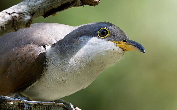 Critics said the western population of yellow-billed cuckoos should not have been declared a threatened species because it is not distinct from thriving populations of the bird in the eastern U.S. (Photo by Dan Pancamo/Creative Commons)