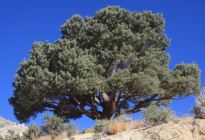 Pinyon Pines are slow growing in northern Arizona and don't produce female cones until they are 40 years old. (Wikimedia)