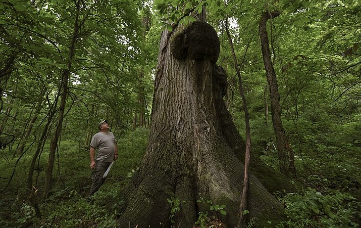In this July 2, 2018 photo, Tom McQuaide, admires the colossal sized tree he discovered while marking trees to harvest on property in Bell Township, Pa. The Red Oak tree is expected to be roughly 400 years old and will not be included in the harvest. (Louis B. Ruediger/Pittsburgh Tribune-Review via AP)