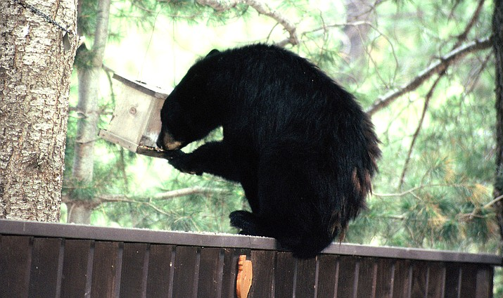 The Arizona Game and Fish Department dealt with more than 200 reports of bear activity from more than 50 Arizona communities last month. AZGFD courtesy photo