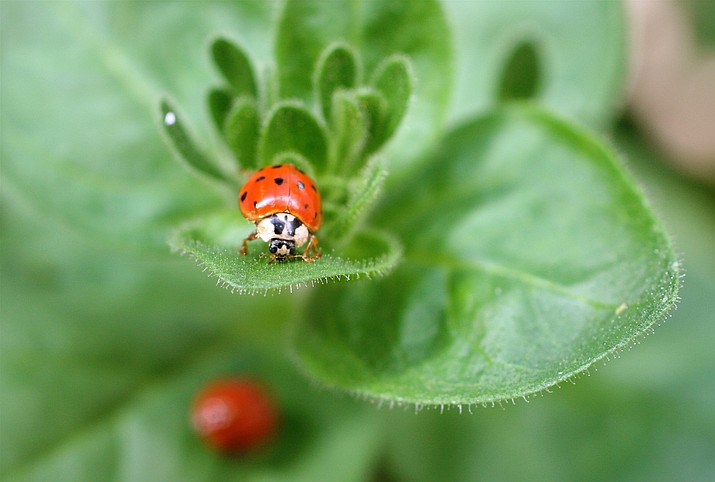 You can buy ladybugs to clear plants of aphids, but the colorful predators have a habit of disappearing soon after release. (Dean Fosdick via AP)