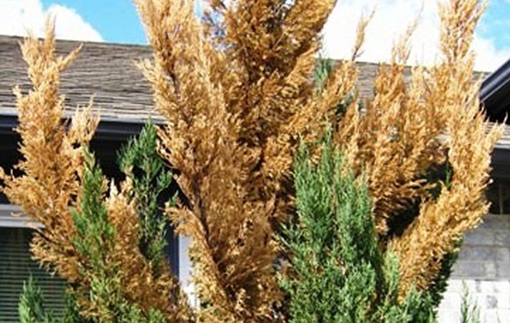 Leyland Cypress canker (Seiridium Canke) will kill every Leyland Cypress in Yavapai County within five years, and there's nothing we can do. (Watters/Courtesy)