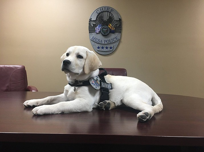 Macy is an English Labrador retriever, which are a bit bigger and brawnier than their American counterparts. (Photo courtesy of Mesa Police Department)