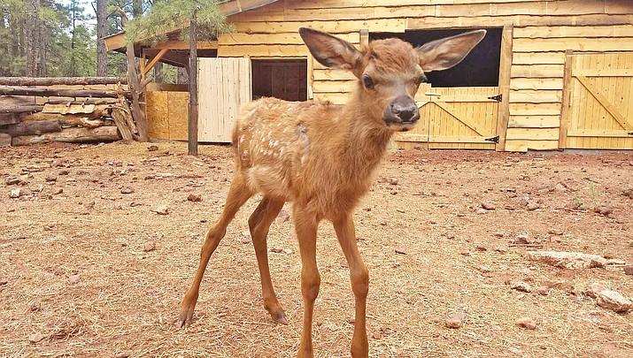 I-40 elk calf recovers at Bearizona