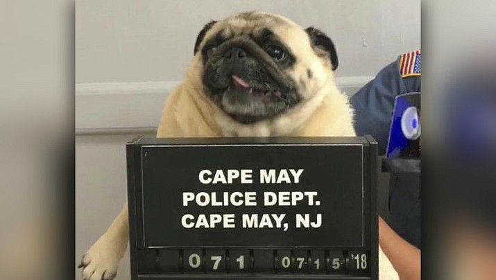 "Pictured is ""Bean"" a pug dog being photographed at the Cape May Police Dept., in Cape May, N.J. The dog is home after police in the New Jersey shore town posted its mugshot on social media. (Cape May N.J. Police Department)"