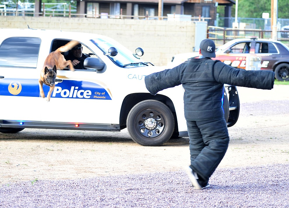 "A Phoenix Police K-9 exits it's vehicle to take down a ""suspect"" as police K-9 handlers and their partners from throughout Arizona who are attending the 26th annual Canine Survival Seminar at Yavapai College hold a public demonstration at the Prescott Rodeo Grounds Tuesday, July 17, 2018.(Les Stukenberg/Courier)"