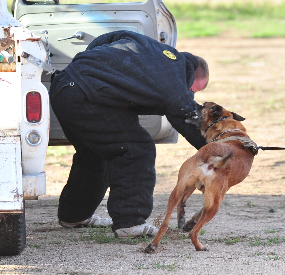 A K-9 pulls a suspect from a vehicle as police K-9 handlers and their partners from throughout Arizona who are attending the 26th annual Canine Survival Seminar at Yavapai College hold a public demonstration at the Prescott Rodeo Grounds Tuesday, July 17, 2018.(Les Stukenberg/Courier)