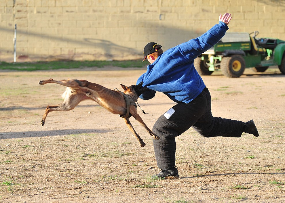 "Maricopa County Sheriff K-9 Macho flies through the air at ""suspect"" Jason Jambor as police K-9 handlers and their partners from throughout Arizona who are attending the 26th annual Canine Survival Seminar at Yavapai College hold a public demonstration at the Prescott Rodeo Grounds Tuesday, July 17, 2018.(Les Stukenberg/Courier)"