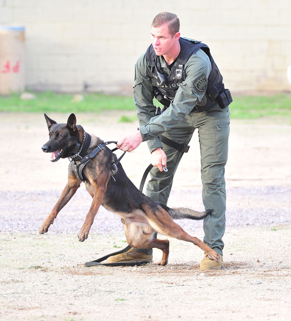 "A K-9 prepares to be released after a ""suspect"" as police K-9 handlers and their partners from throughout Arizona who are attending the 26th annual Canine Survival Seminar at Yavapai College hold a public demonstration at the Prescott Rodeo Grounds Tuesday, July 17, 2018.(Les Stukenberg/Courier)"