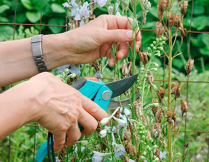 Cutting back spent flower stalks of some perennials, such as these delphinium, can result in a repeat performance later in the season. (Lee Reich via AP)