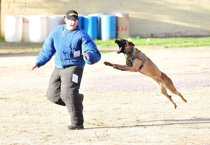 "Maricopa County Sheriff K-9 Macho flies through the air at ""suspect"" Jason Jambor as police K-9 handlers and their partners from throughout Arizona who are attending the 26th annual Canine Survival Seminar at Yavapai College hold a public demonstration at the Prescott Rodeo Grounds Tuesday, July 17, 2018. (Les Stukenberg/Courier)"