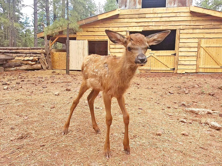 Lucky, an elk calf has fully recovered one month after being delivered on the side of Interstate 40 after her mother was struck by a vehicle. (Bearizona/Courtesy)