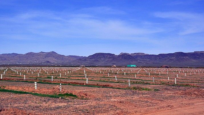 Avery Land Group, a wholly owned subsidiary of Kingman Farms, has filed for Chapter 11 bankruptcy reorganization in Las Vegas. The company owns about $35 million in Mohave County land to be used for growing pistachios and almonds such as this recently planted orchard in Golden Valley. (File photo)