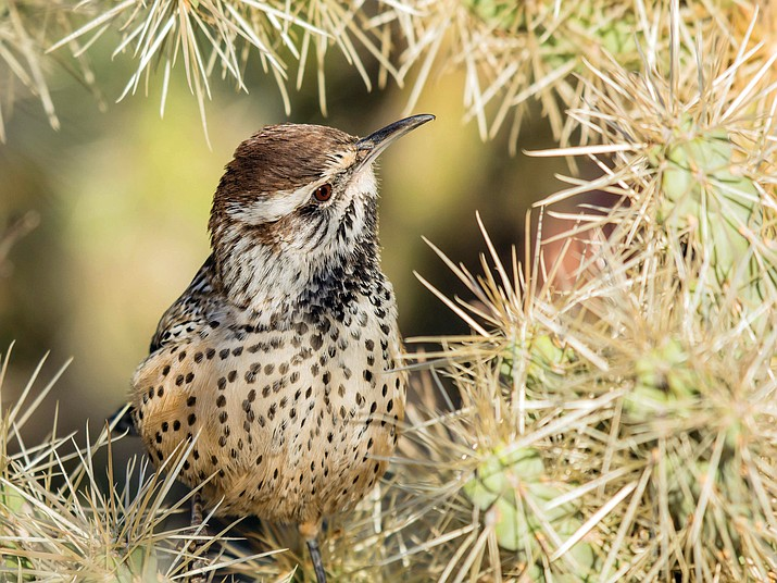 Last year's calendar cover photo, a cactus wren surrounded by cholla cactus, was taken by Pamela Park of Mesa. (AZGFD)