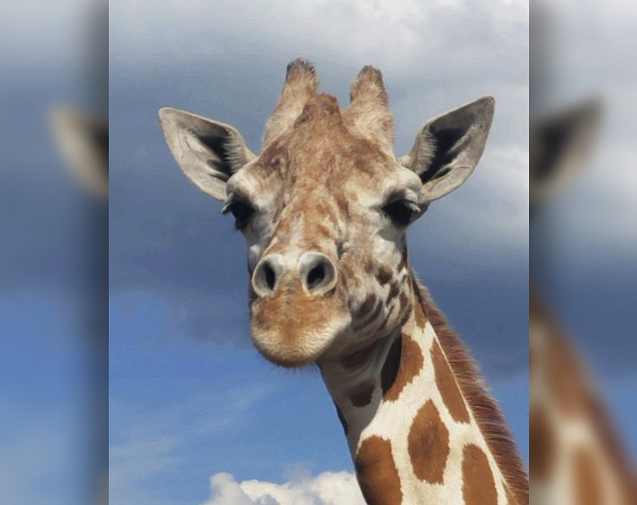 "This July 2018 image provided by Animal Adventure Park shows the April the Giraffe at Animal Adventure Park in Harpursville, N.Y. April, the giraffe whose pregnancy became an internet sensation, is pregnant again. Jordon Patch of Animal Adventure Park announced the pregnancy Wednesday, July 25, on NBC's ""Today"" show. Patch says the calf is due during the early part of spring around March. (Animal Adventure Park via AP)"
