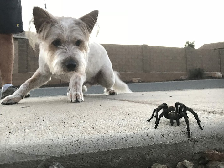 Banjo meets a male desert blonde tarantula while out for a walk with his owners in their Dewey neighborhood last week. The recent rainstorms act as a sexual cue for mature male tarantulas to begin their quest to find females. (Richard Haddad/WNI)