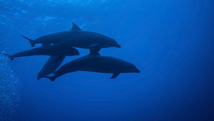 """Scientists are touting the first sighting of a hybrid between a melon-headed whale and a rough-toothed dolphin in the ocean off Hawaii. But don't call it a """"wholphin,"""" they say."""