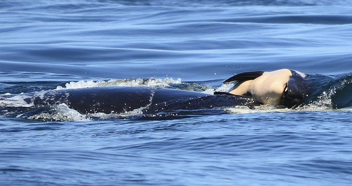 In this file photo taken Tuesday, July 24, 2018, provided by the Center for Whale Research, a baby orca whale is being pushed by her mother after being born off the Canada coast near Victoria, British Columbia. Whale researchers are keeping close watch on an endangered orca that has spent the past week carrying and keeping her dead calf afloat in Pacific Northwest waters. The display has struck an emotional chord around the world and highlighted the plight of the declining population of southern resident killer whales that has not seen a successful birth since 2015.(Michael Weiss/Center for Whale Research via AP)