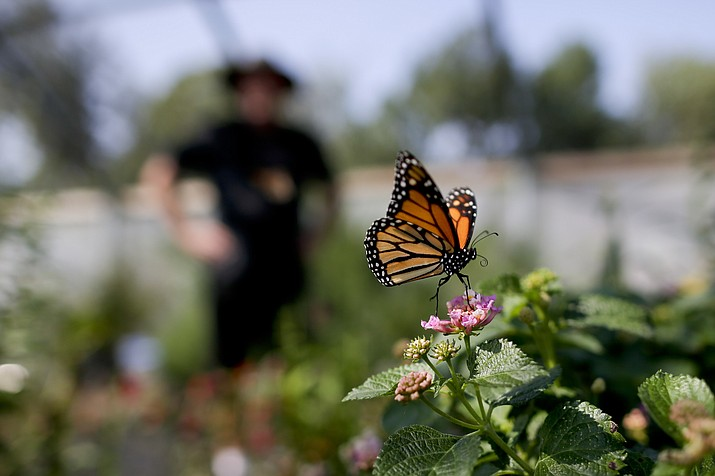 In this Aug. 19, 2015, file photo, Tom Merriman stands behind a monarch in his butterfly atrium at his nursery in Vista, Calif. Milkweed has long been considered a nuisance on North American farmlands but now, more than 100 farmers in Quebec and Vermont are planting it in their fields to help restore the declining population of monarchs, which use that plant exclusively for their eggs and to feed the caterpillars. The farmers are also tapping a new market for the milkweed fibers. (Gregory Bull/AP, file)