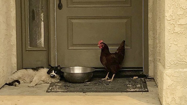 In this photo taken July 28, 2018, provided by the Grass Valley Fire Department, a cat seeking refuge from a raging Northern California wildfire found a fine-feathered friend as it awaited rescue from the heat and flames in Redding, Calif. The Grass Valley Fire Department said Thursday, Aug. 2, 2018, a cat and chicken it rescued over the weekend are recovering from burns with the help of the SPCA. The feline and hen were found Saturday huddling together on a front porch in Redding during a firefighters' patrol through a fire-damaged neighborhood. (Grass Valley Fire Department via AP)