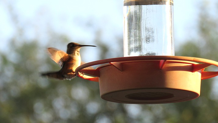 Western Light: Rufus Hummingbird