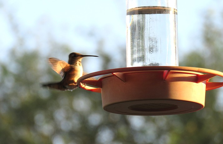 A female Rufus hummingbird jealously guards a feeder during her staging days in the Verde Valley. Melissa Bowersock