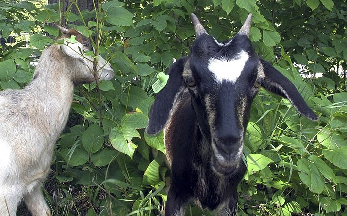 Goats graze on poison ivy along a recreational path in the capitol city of Montpelier, Vt., on Wednesday, Aug. 8, 2018. The city has tried to get rid of the poison ivy but has been unable to control it using organic treatments, so decided to employ goats. (AP Photo/Lisa Rathke)