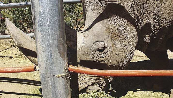 Jericho, a rhinocerous at Out of Africa, eats alfalfa in his pen. (Photo by Bret Jaspers KJZZ)