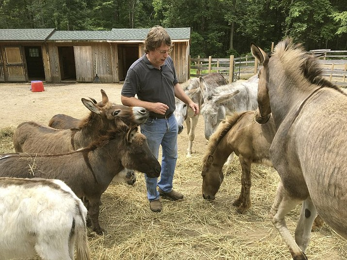 In this June 30, 2018 photo, Donkey Park owner Steve Stiert, walks among his donkeys in Ulster Park, N.Y. The retired IBM software engineer offers free donkey-assisted therapy programs and educational events as part of his mission to protect donkeys from mistreatment and neglect. Stiert spreads the word about their virtues as peaceful stress-relieving animals. (AP Photo/Mary Esch)