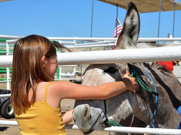The BLM works to place wild burros and horses into private care through its adoption and sales programs. The agency is rounding up 470 burros in Bullhead City and other areas. (Photo courtesy of Bureau of Land Management)