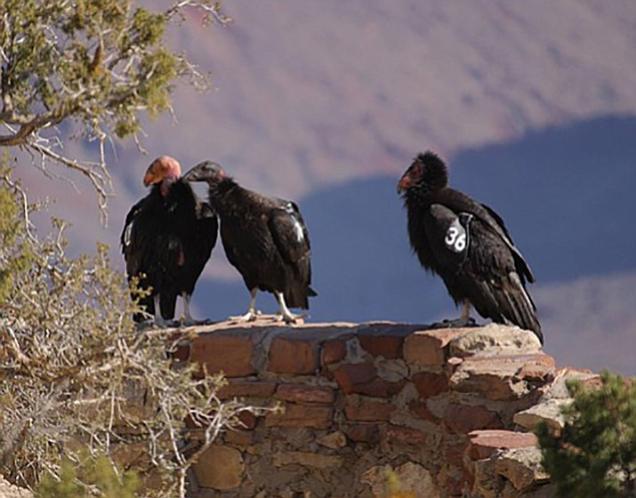 California condors have been considered endangered since 1996. Their population dwindled to just 22 in the 1980s, when an effort was launched to save the species from extinction. There are currently about 500 living in the wild, including about 85 in the rugged canyon country of northern Arizona and southern Utah. (Photo courtesy of Peregrine Fund)