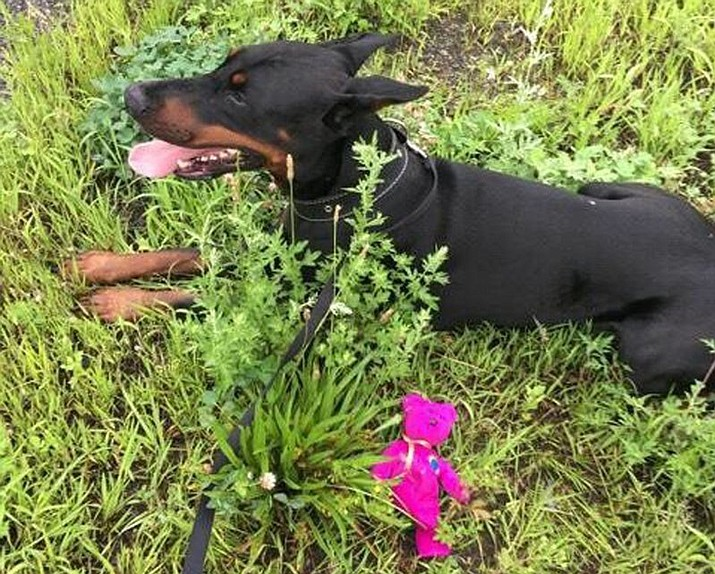 In this image provided by the Massachusetts State Police, a Doberman pinscher lies next to a stuffed teddy bear thrown to it by a state trooper in a successful effort to lure if off the highway, Sunday, Aug. 12, 2018, along Interstate 291 in Springfield, Mass. The dog has been returned, unharmed, to the owner, who lives near the highway. (Massachusetts State Police via AP)