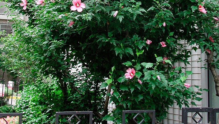 Rose of Sharon: not a real rose, but worth growing