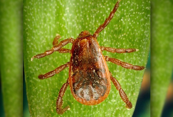 The brown dog tick ranges across the state of Arizona and can carry Rocky Mountain Spotted Fever, a serious bacterial infection for both dogs and humans. (CDC image 7646/James Gathany and William Nicholson)