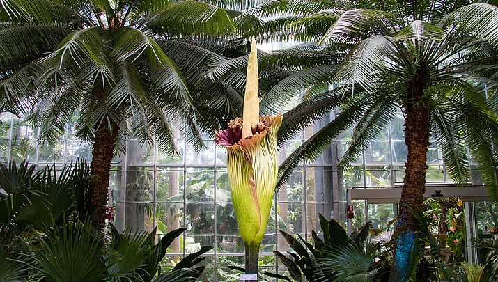 Stinky 'corpse flower' in full bloom in California