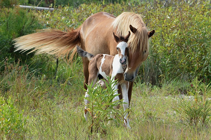 Assateague wild mare Giggles and her new colt. (Photo/NPS)
