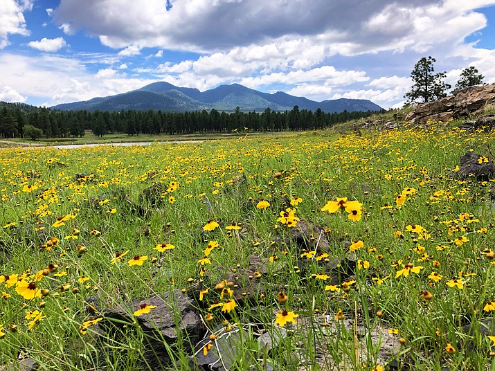 Fields of flowers have erupted at Cataract Lake and throughout Williams following several weeks of heavy monsoons. Despite the rainfall, Williams is below average for precipitation. (Wendy Howell/WGCN)